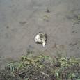 シュレーゲルアオガエルの卵